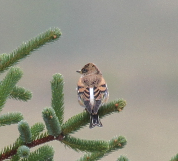 Brambling, Clam Lagoon Blue Building, Sept 14, 2014.