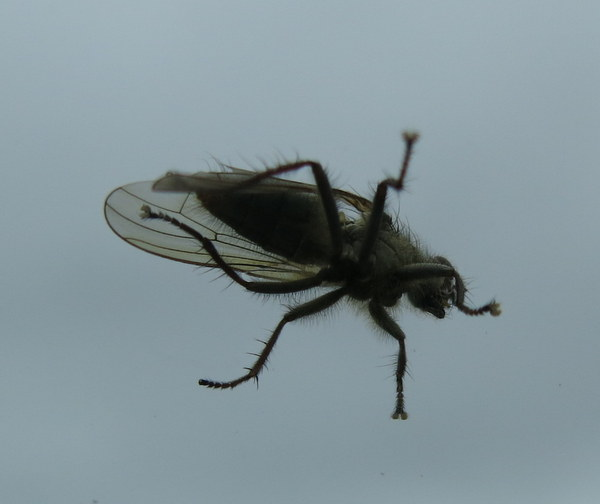 Fly (Actual size, would you believe?), Adak, Sept 20, 2014.