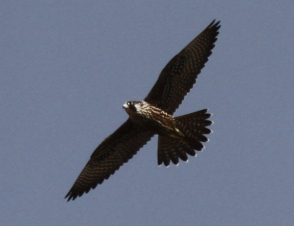Peregrine Falcon, Sandy Cove Bluff, Sept 15, 2014.