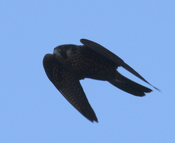 Peregrine Falcon, Clam Lagoon Seawall, Sept 11, 2014.