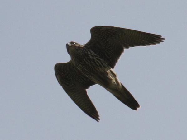 Peregrine Falcon, Clam Lagoon, Sept 13, 2014.
