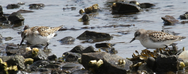 Western Sandpiper (left) and Red-necked Stint, Clam Lagoon, Sept 13, 2014.