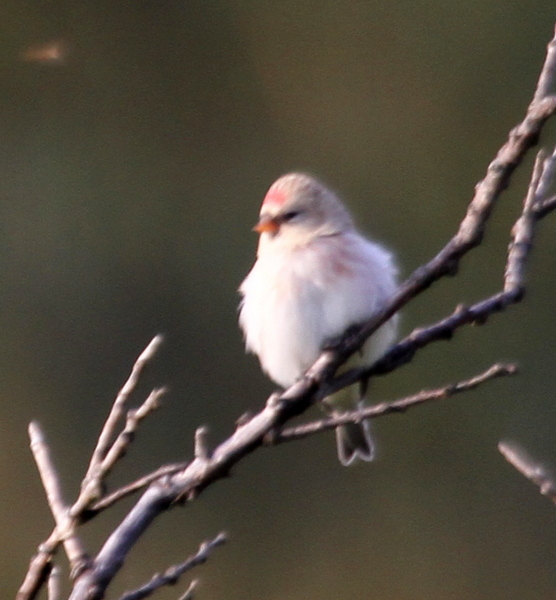 Common Redpoll, High School Willows, Sept 21, 2014.