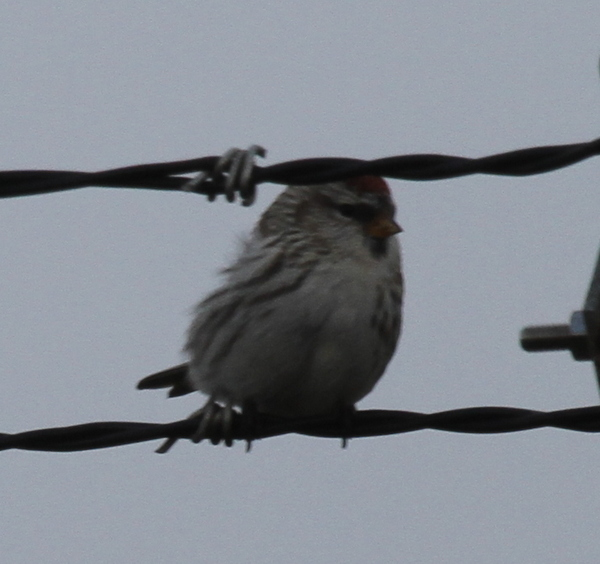 Common Redpoll, near Contractor's Marsh, Sept 25, 2014.