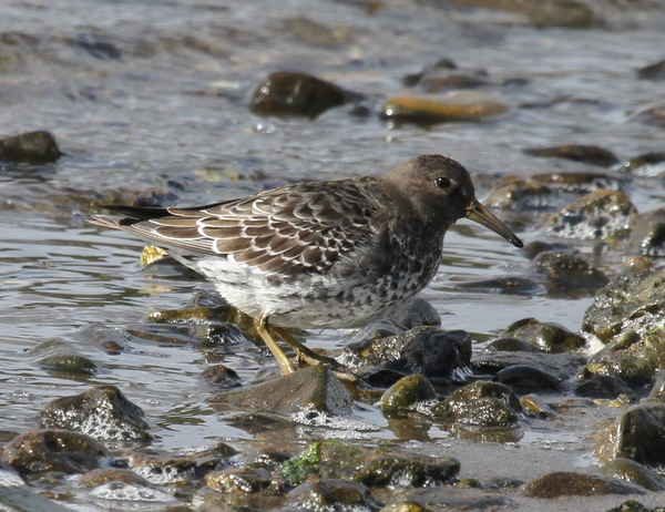 Rock Sandpiper, Clam Lagoon, Sept 12, 2014.