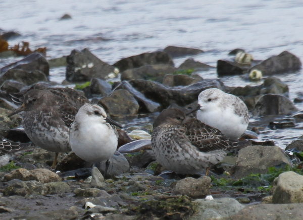 Sanderlings and Rock Sandpipers, Clam Lagoon, Sept 13, 2014.
