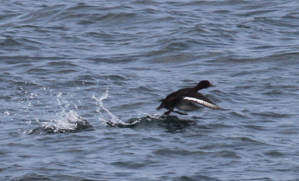 Greater Scaup, Seawall, Sept 21, 2014.