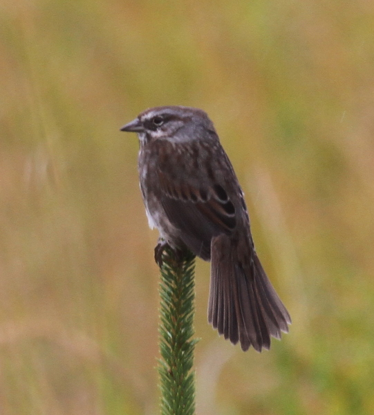 Aleutian Song Sparrow (flat-headed variety), Sept 23, 2014.
