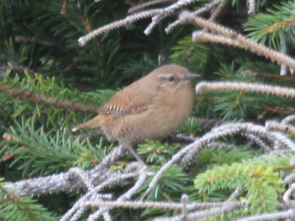 Pacific Wren, Elfin Forest, Sept 12, 2014.