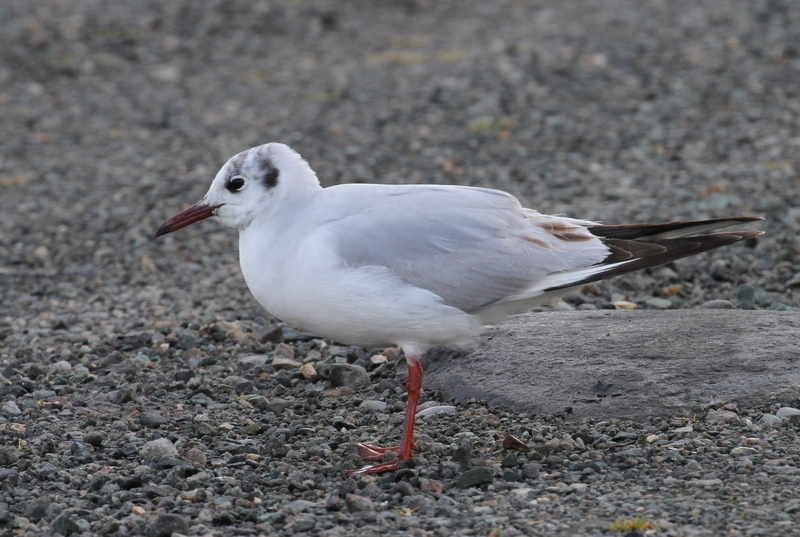 Black-headed Gull, Clam Lagoon, May 22, 2015