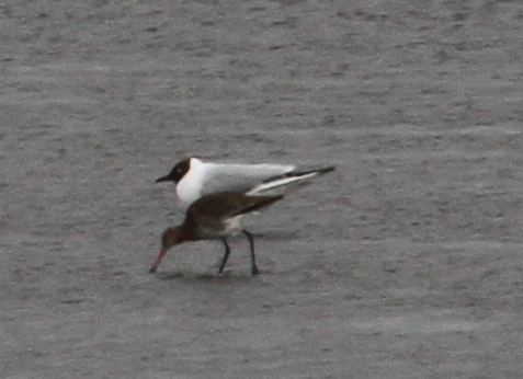 Black-headed Gull and Black-tailed Godwit, Clam Lagoon, May 23, 2015