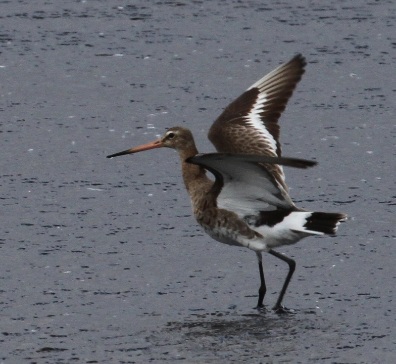 Black-tailed Godwit, Clam Lagoon, May 24, 2015