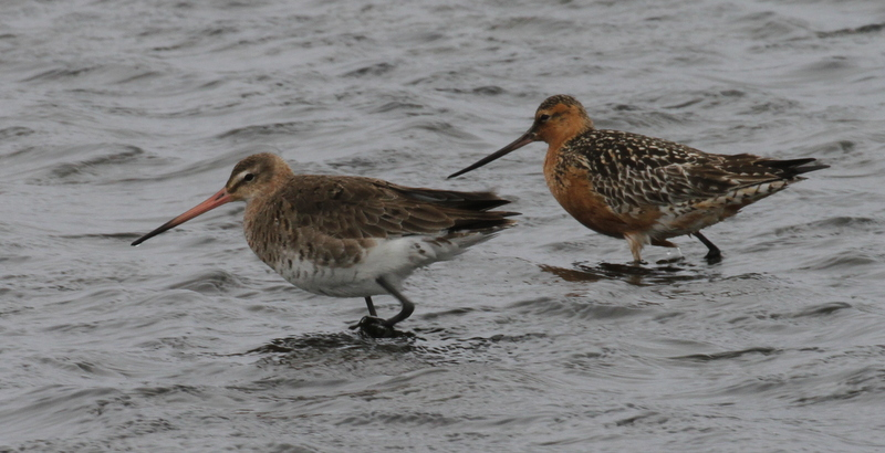 Black-tailed Godwit (left) with Bar-tailed Godwit, Clam Lagoon, May 22, 2015