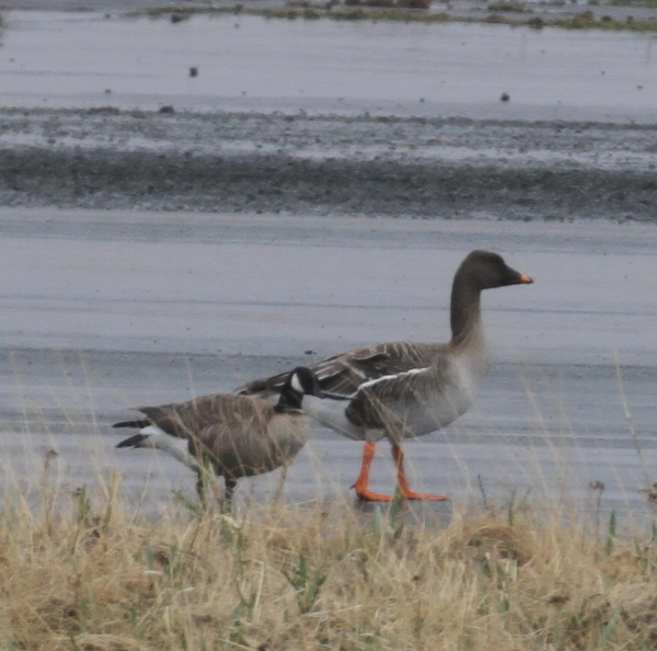 Tundra Bean Goose (with Cackling Goose), Airport, May 18, 2015