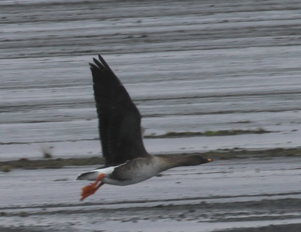 Tundra Bean Goose, Airport, May 18, 2015