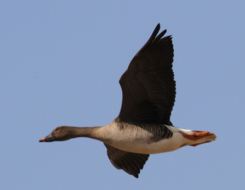 Tundra Bean Goose, Contractor's Camp Marsh, May 20, 2015