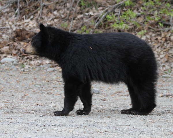 Black Bear, Arctic Valley Road, Anchorage, May 14, 2015.