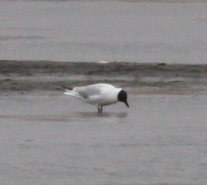 Black-headed Gull, Clam Lagoon, May 18, 2015