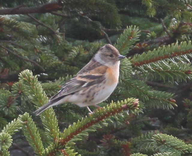 Brambling, Seal Drive Feeder, May 27, 2015