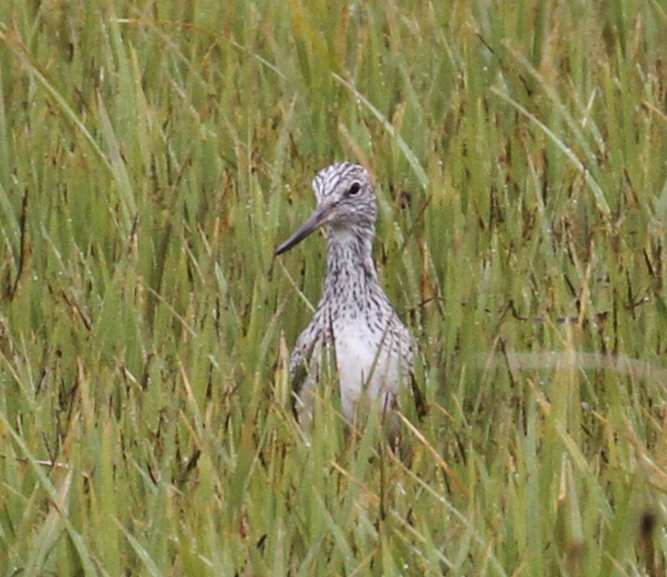 Common Greenshank, Sweeper Creek, May 22, 2015