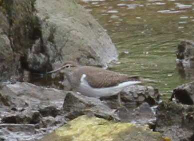 Common Sandpiper, Sweeper Channel, May 26, 2015