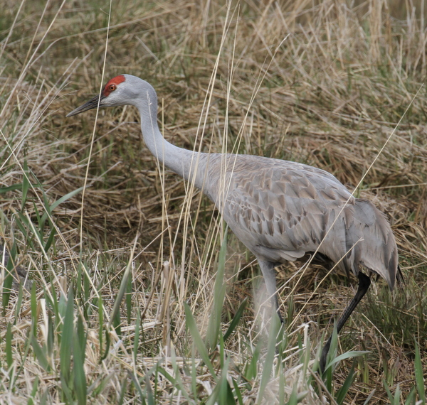 Sandhill Crane, Sweeper Creek, May 17, 2015