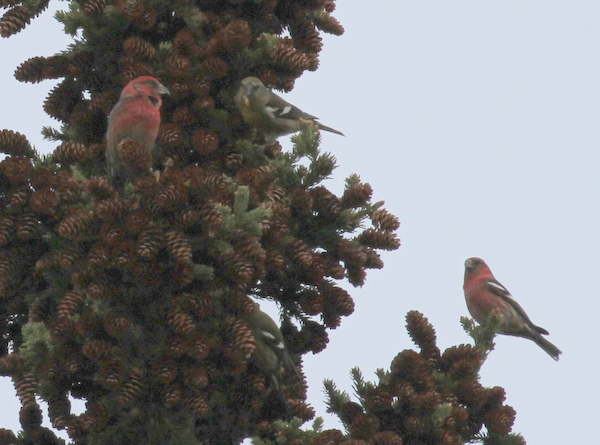 White-winged Crossbills, Arctic Valley Road, Anchorage, May 14, 2015.
