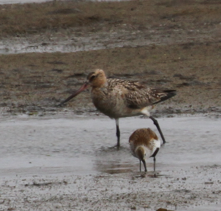 Bar-tailed Godwit and Dunlin, Clam Lagoon, May 20, 2015