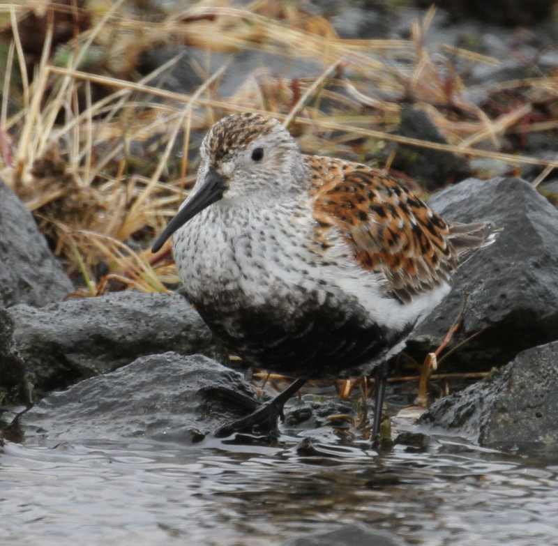 Dunlin, Airport Escarpment, May 23, 2015