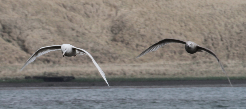 Glaucous Gull (left) with Glaucous-winged Gull, Clam Lagoon, May 20, 2015