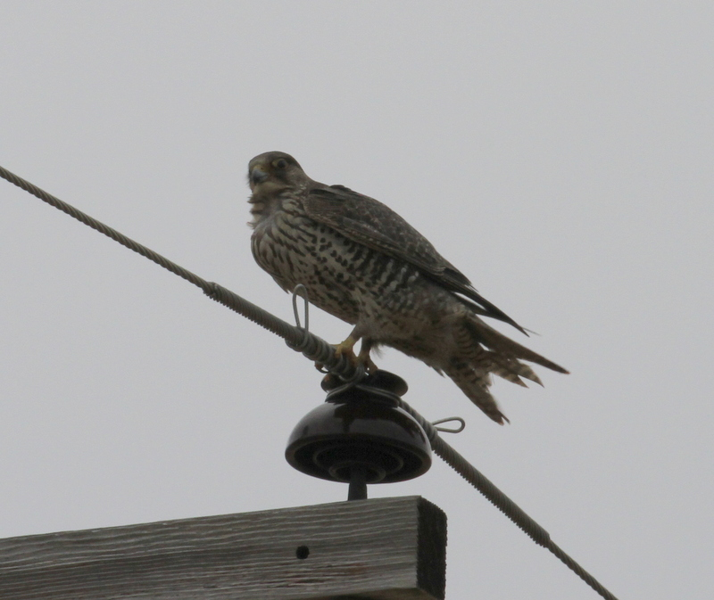 Gyrfalcon, Clam Lagoon, May 21, 2015