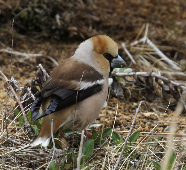 Hawfinch, near Airport Ponds, May 14, 2015.