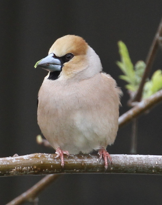 Hawfinch, City of Adak (Yes, it is classified as a city!), May 23, 2015