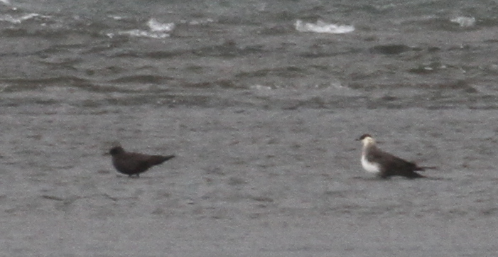 Light-morph Parasitic Jaeger, Clam Lagoon, May 28, 2015