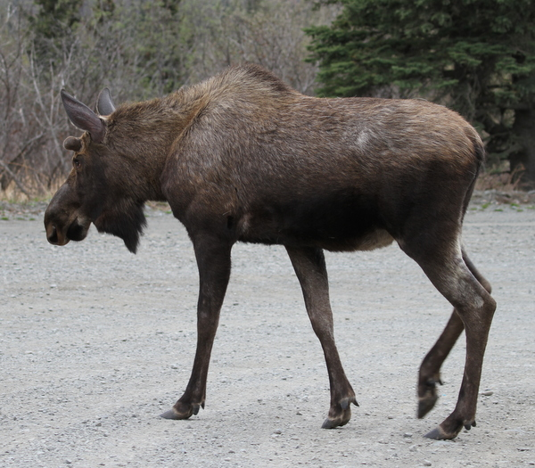 Moose, Arctic Valley Road, Anchorage, May 14, 2015.