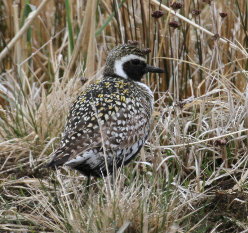 Pacific Golden-Plover, Contractor's Camp Marsh, May 21, 2015
