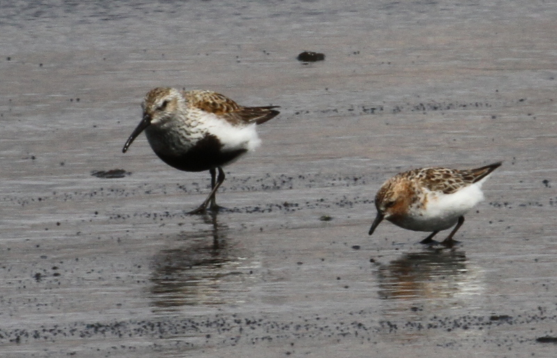 Dunlin (left) and Red-necked Stint, Clam Lagoon, May 24, 2015