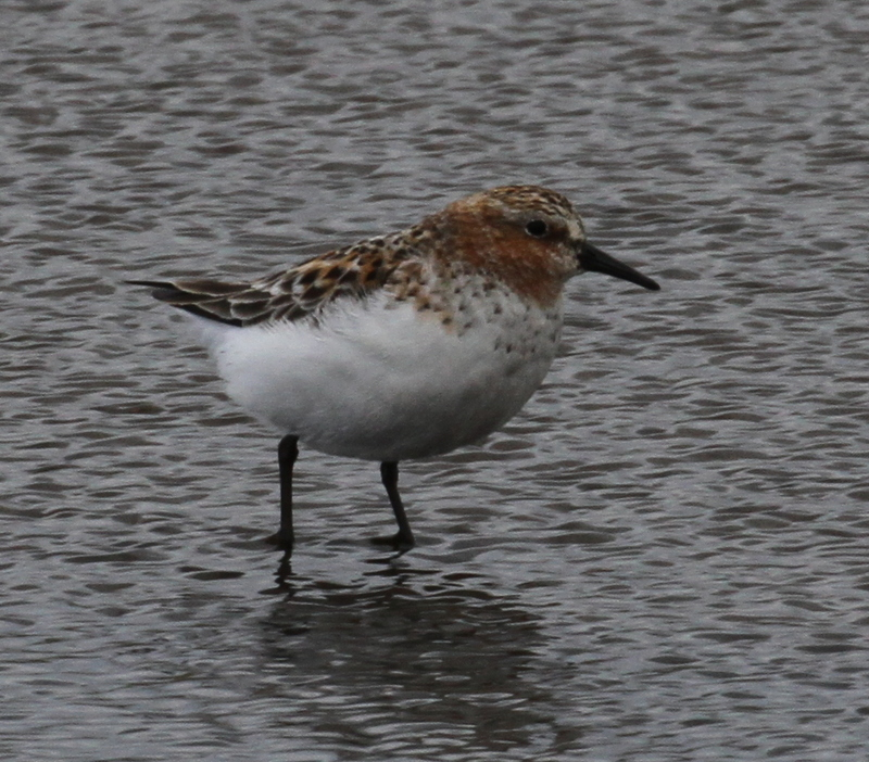Red-necked Stint, Clam Lagoon, May 26, 2015