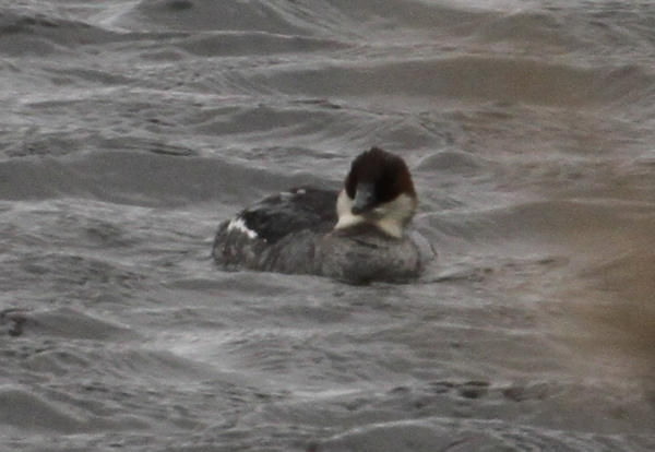Smew, Shotgun Lake, May 18, 2015