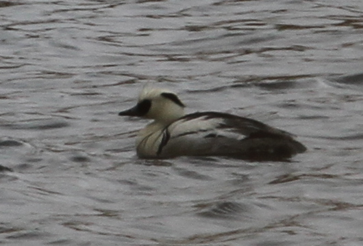 Smew, Shotgun Lake, May 15, 2015.