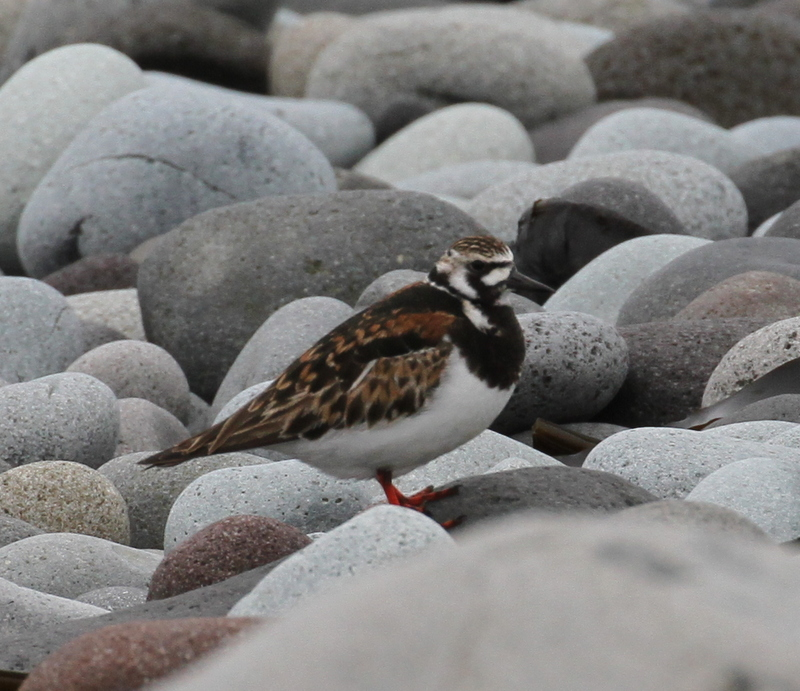 Ruddy Turnstone, the Breaches, May 21, 2015