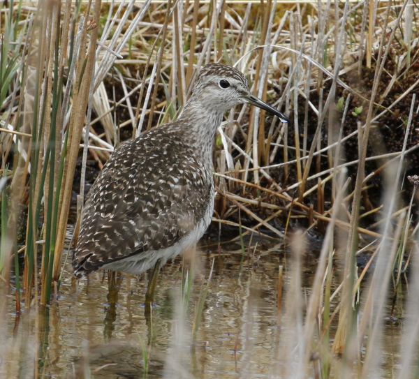 Wood Sandpiper, Contractor's Camp Marsh, May 19, 2015