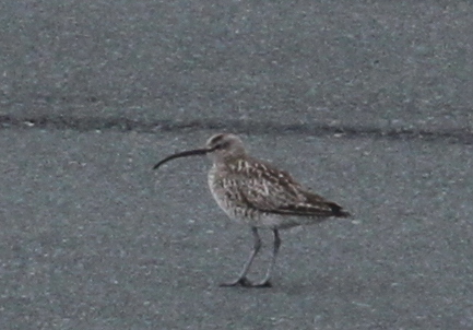 """Siberian"" Whimbrel, Airport, May 22, 2015"
