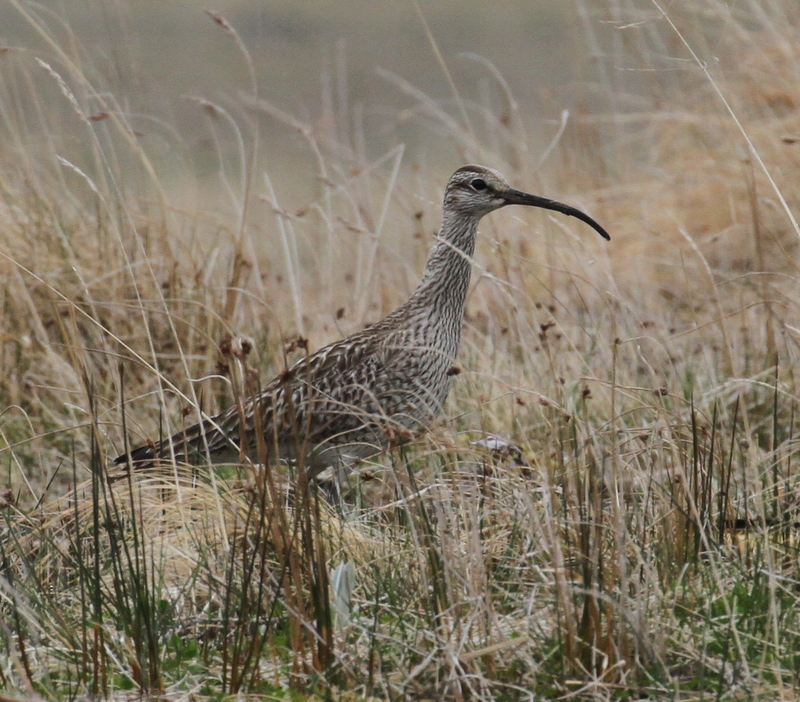 """Siberian"" Whimbrel. Sweeper Creek, May 24, 2015"