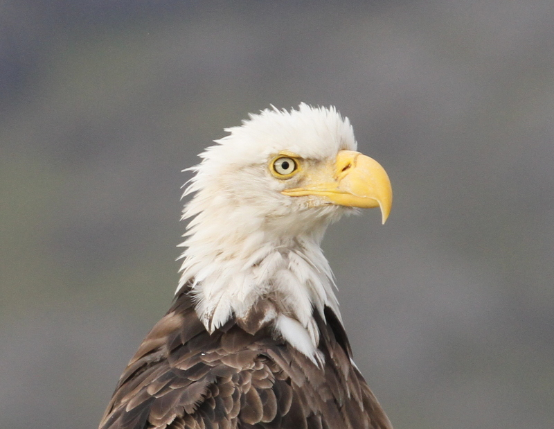 Bald Eagle, Adak, Sept 22, 2015.