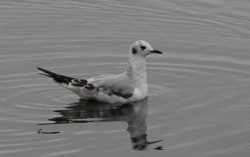 Bonaparte's Gull, West Chester Lagoon, Anchorage, Anchorage, Sept 17, 2015.