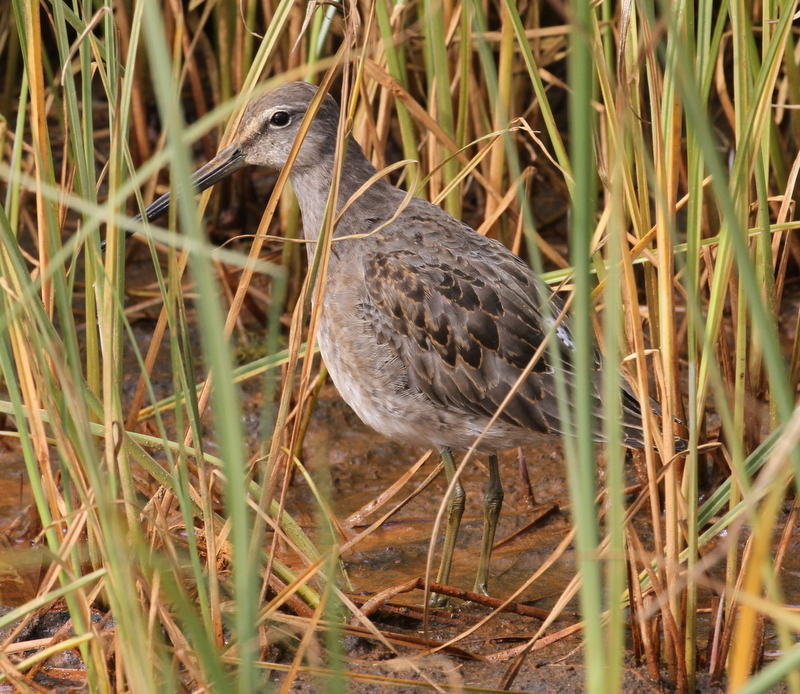 Long-billed Dowicher, Clam Lagoon, Sept 19, 2015.