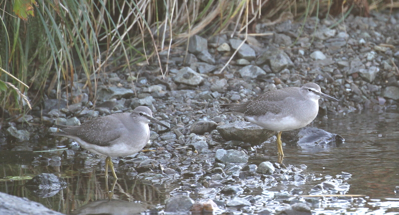 Gray-tailed Tattlers, Finger Creek, Sept 20, 2015.