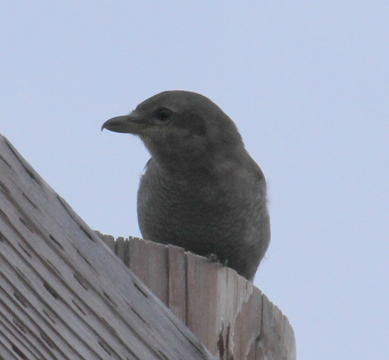 Northern Shrike, Arctic Valley Road, Anchorage, Sept 17, 2015