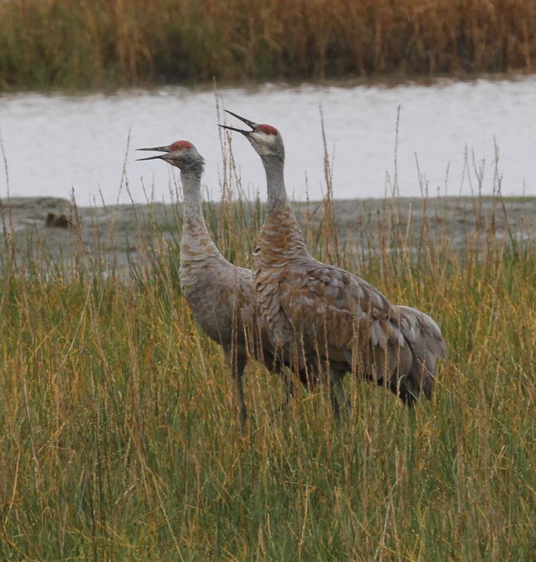 Sandhill Cranes, Audubon Bench, Anchorage, Sept 17, 2015.